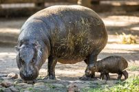 pygmy_hippo_baby_HiRes_34_preview
