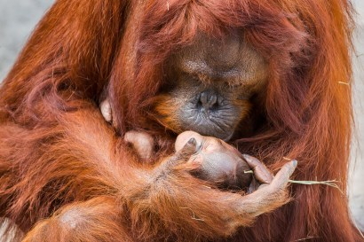 Tampa's Lowry Park Zoo welcomes 2018 with the birth of a rare Bornean orangutan baby. The endangered primate was born in the early morning on Jan. 6, 2018, to experienced mother Dee Dee, weighing in at an estimated 3 pounds. There are fewer than 100 Bornean orangutans in 24 AZA-accredited institutions in North America, making this birth very significant for the species and the Tampa community. The baby will be the tenth Bornean orangutan born at the Zoo. (PRNewsfoto/Tampa's Lowry Park Zoo)