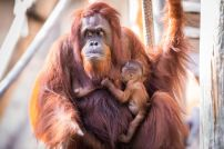 Orangutan_Baby_large_42_preview