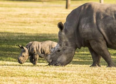 Busch-Gardens-Rhino-and-Baby