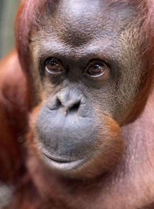 Sandra, the first orangutan granted legal personhood, arrived at The Center for Great Apes on November 5, 2019.
